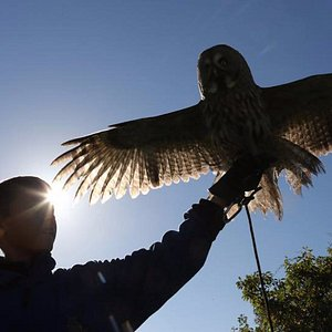 Dakota, our Great Grey Owl, showing off her amazing wingspan for one of our young volunteers, Cam