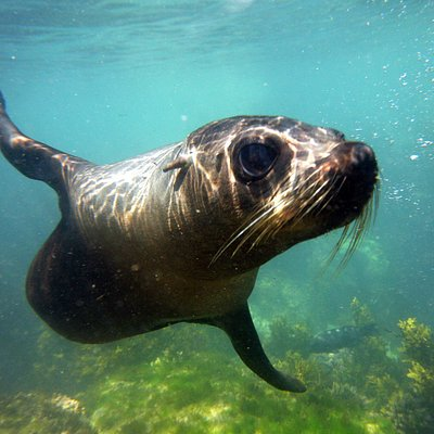New Zealand Fur Seal, Kaikoura New Zealand