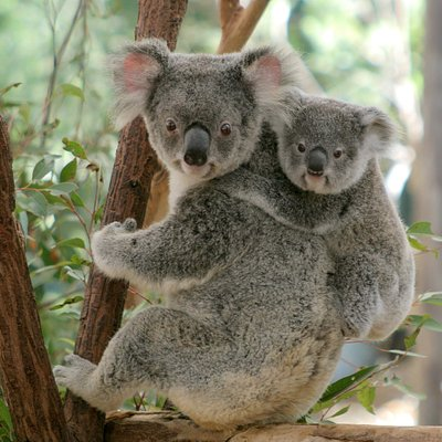 Koala mum and joey at Lone Pine Koala Sanctuary.