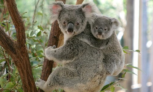 Koala mum and joey at Lone Pine Koala Sanctuary.
