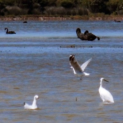 some of the birdlife on Lake George. Herons, black swans and the ubiquitous sea gulls