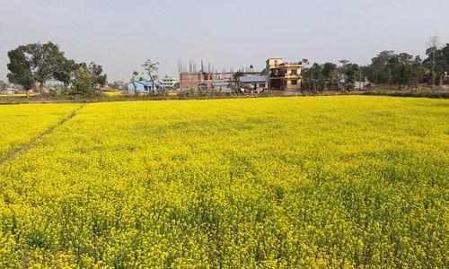 Mustard seed in Chitwan, Nepal