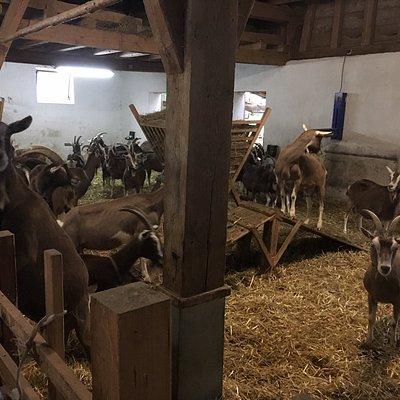 Our friendly goat friends