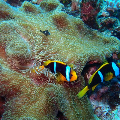 Clown fish and anemone.