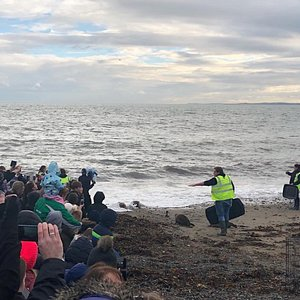 Releasing of seals by Seal Rescue Ireland in Gyles Quay -Cookie, Pavalova, Chickpea and Shrimp.