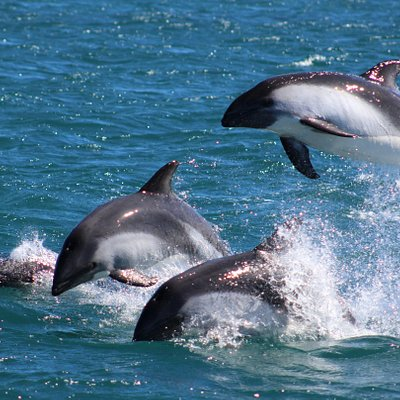 Delfines Australes.
