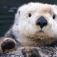 Don't mind me...I'm just the cutest little sea otter ever!