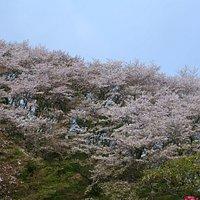 桜の季節の金毘羅山です。
