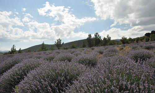 Isparta, Keçiborlu Kuyucak köyünde Lavanta bahçeleri