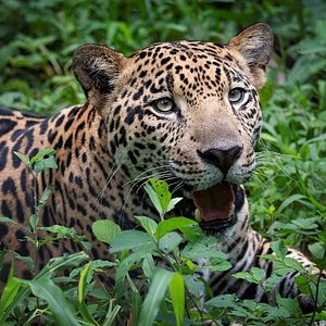 This is Bolas the jaguar, he is in the biggest enclousure for jaguars in Costa Rica