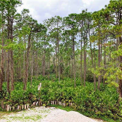 Our beautiful Pine Flatlands, with plentiful Saw palmettos and Slash Pines.