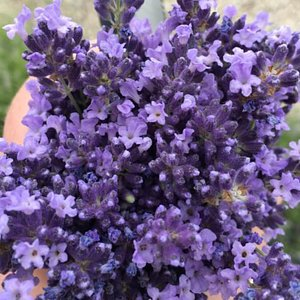 You can u-pick and cut your own bundles of lavender to take home and enjoy!