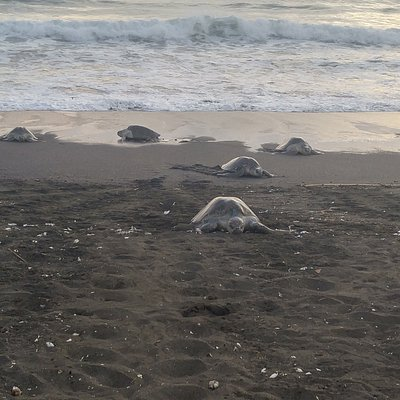 turtles making there way up the beach in Ostional to lay their eggs.