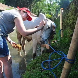 Washing cow part of cycling tour
