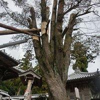 高さ10m幹回り8mのアララギの巨木です