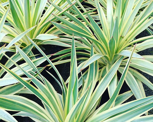 Our favorite Yucca! Yucca 'Bright Star'.