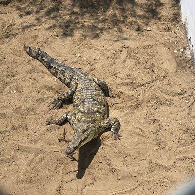 Una isla de cocodrilos