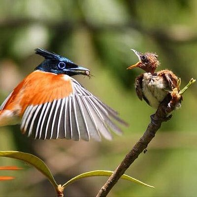 mawella bird