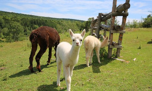 Our new baby alpacas Julie and Julius both born in July 2018. Julius, who is staring at the camera) seems to be an albino.
