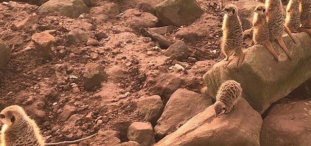Meerkat Savanna