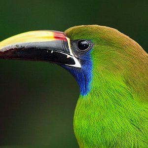 There are 6 different species of toucans in Costa Rica: Keel-billed toucan, Black-mandibled toucan, Yellow-eared toucan, Fiery-billed Aracari, Collarred Aracari and the Emerald Toucanet.