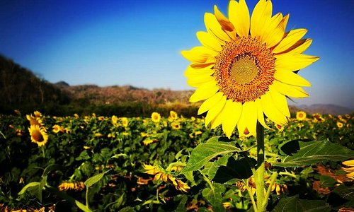 Sunflower farm, no entrance fee