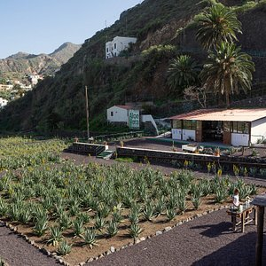Finca Canarias is located in La Gomera in the area of Hermigua, on the northwest of the island. The 8.000 aloe vera plants are arranged within a field of 10.000 square metres located next to the Barranco de Monteforte. The farm is located just 8km from the National Park of Garajonay (Parque Nacional de Garajonay), a natural monument of almost 4.000 hectare (9.884 acres) recognized for being one of the largest laurel forest.