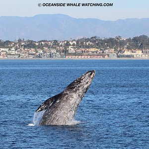 Gray whale breaches off the coast of Oceanside, CA aboard the Oceanside Adventures Catamaran