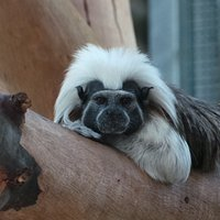 Meet Turbo the cotton-top tamarin!  Turbo and her mum Solita can be found in the barn, where they can often be seen leaping throughout their enclosure showing off their high levels of agility.