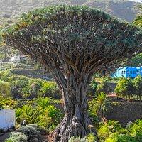 Drakblodsträdet