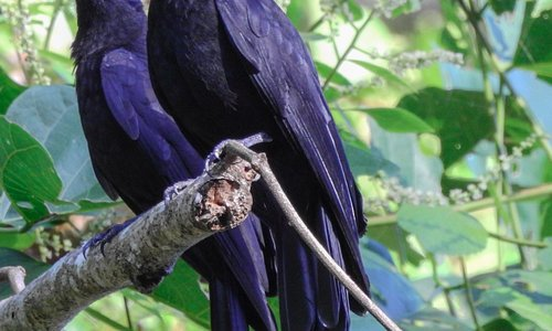 Purple Throated Fruit Crow