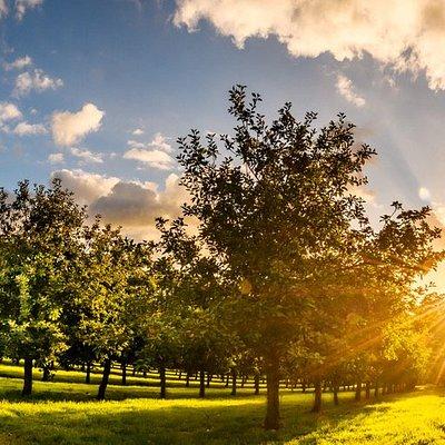Dabinet orchard at sunrise