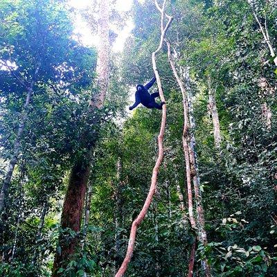 black gibbon Gunung Leuser National Park, Bukit Lawang