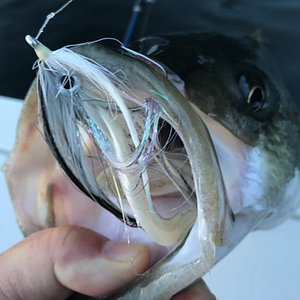 The Kennebec River is loaded with herring of all sizes and striped bass love to eat herring. If you want to learn more about casting larger flies for striped bass, let's spend a day together on the water. Teaching people to become better anglers is a focus on my fishing charters.