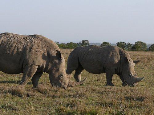 Close range Rhino photo shoot. spotted grazing in Masai Mara, Kenya with gates adventure Safaris