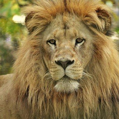 Leão-angolano