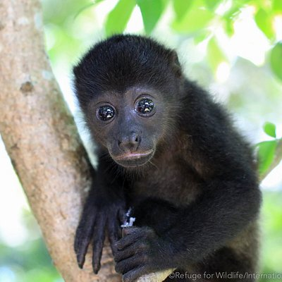 orphaned infant howler monkey