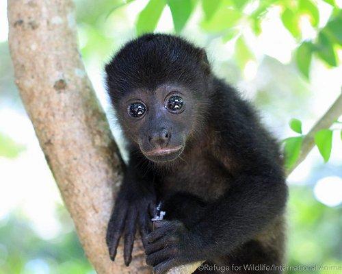 orphaned infant howler monkey