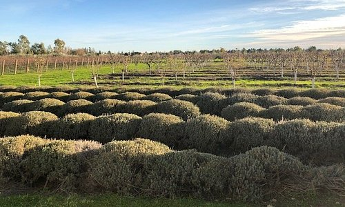 Marcus and Jenny's vineyard and lavender