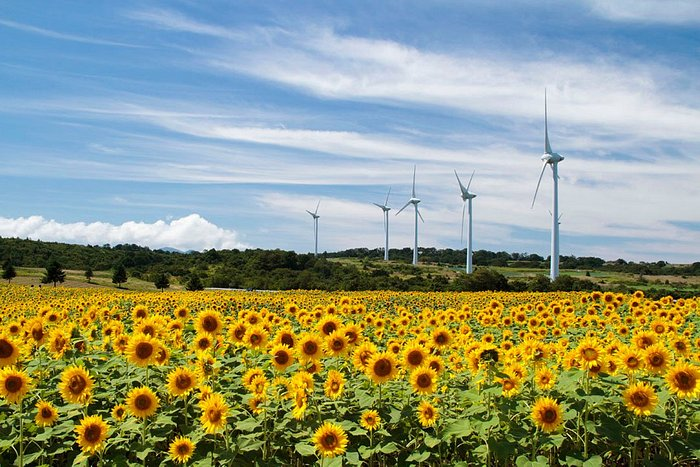 磐梯山や猪苗代湖が一望できる絶好のロケーション。 春は菜の花、夏はヒマワリ、秋はコスモスが一面に咲くフォトスポット。 高さ約100mある風力発電が33基立ち並ぶ国内最大級の風力発電施設でもあり、近くで見る風車は迫力満点。