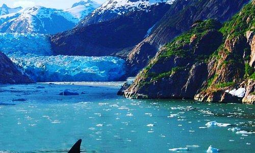 Orcas at Patterson Glacier
