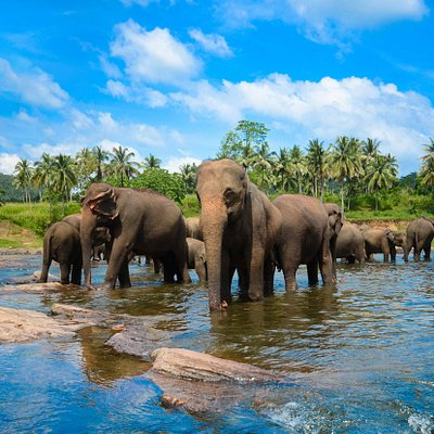 The orphanage was founded to care and protect the many orphaned unweaned wild elephants found wandering in and near the forests of Sri Lanka. It was established in 1975 by the Sri Lanka Department of Wildlife Conservation