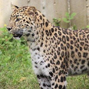 Avanti, Amur leopard