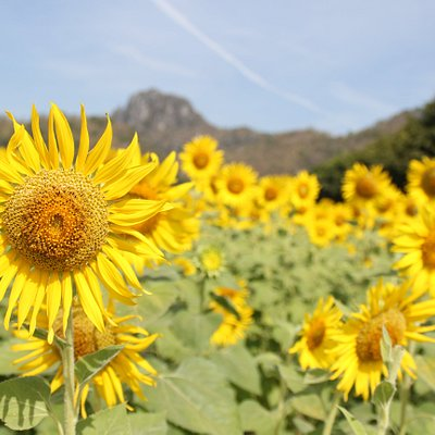 The Sunflower field during end of November to early of January every year.