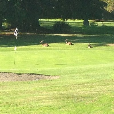The deer are snoozing in the sunshine... while they wait for the next round of golfers on the sixth hole!