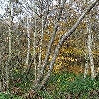 Berken en Beuken in het bos aan de rand van de heide in Natuurgebied Holtingerveld
