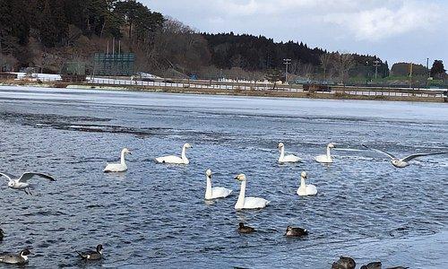 Swans, ducks and sea gulls living in harmony.