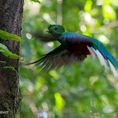 Our friend photographer and biologist, Jean-guy Trussart shared many splendid pictures with Monteverde Wild Hikes. Here is a male Resplendent Quetzal flying to its nest.