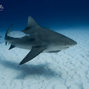 Beautiful Chubby shark