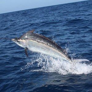 Black Marlin after taking a tuna bait